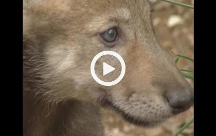 Il mistero del lupo