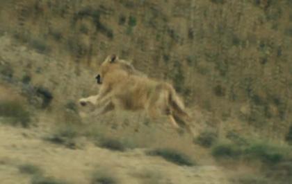 La corsa del lupo