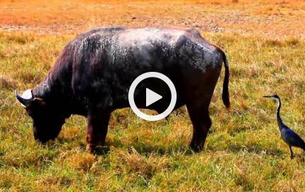 Il bufalo e l'airone