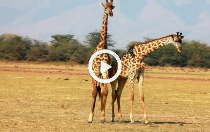 Giraffe - lunga