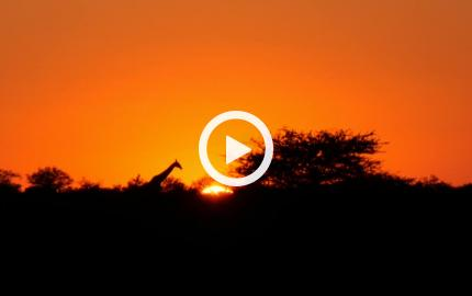Una giraffa al tramonto