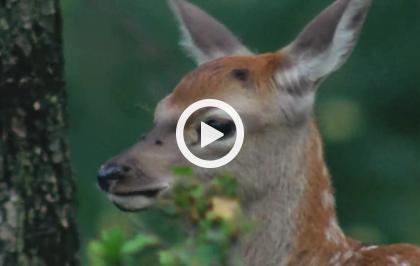 Europa selvaggia - Il ritorno del cervo
