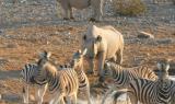 Rinoceronti e zebre