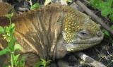 Iguana, le varietà